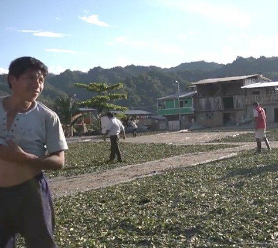 Coca groeit weer als kool in Colombia
