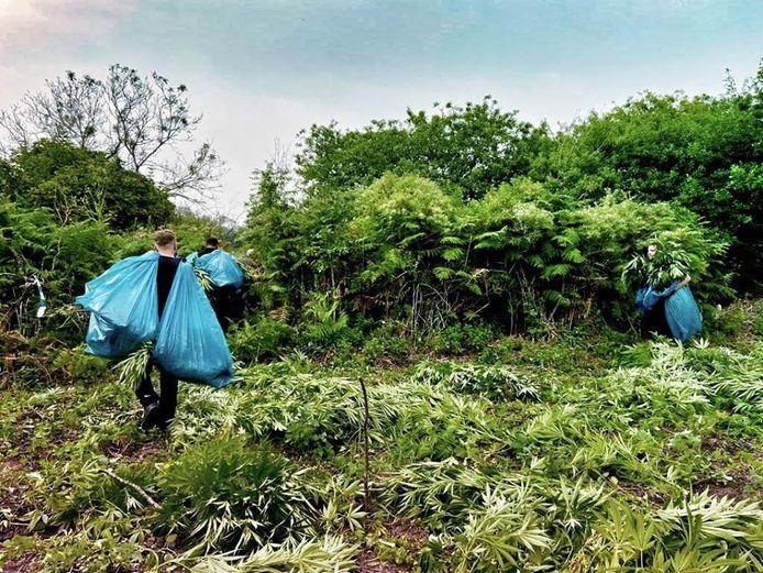 Duizend wietplanten in natuurgebied